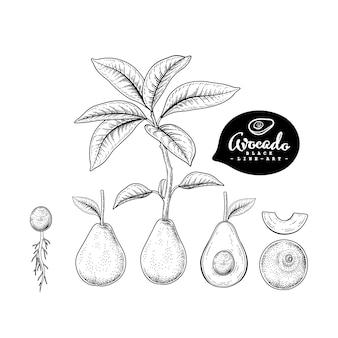 Векторный рисунок авокадо декоративный набор. рисованной ботанические иллюстрации