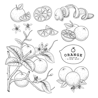 Vector sketch citrus fruit decorative set. orange. hand drawn botanical illustrations.