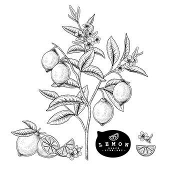 Vector sketch citrus fruit decorative set.