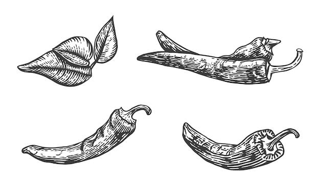 唐辛子のベクトルスケッチイラスト手描きキッチンハーブ