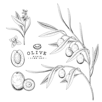 Vector sketch olive decorative set. hand drawn botanical illustrations. black and white with line art isolated on white backgrounds. plant drawings. retro style elements.