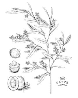 Векторный рисунок оливковый декоративный набор. рисованной ботанические иллюстрации.