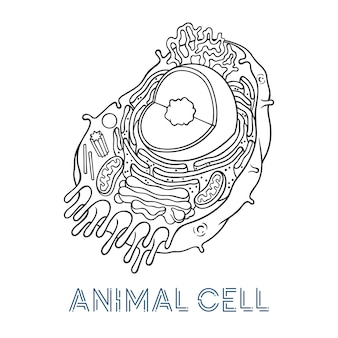 Vector sketching illustrations. schematic structure of animal cell.