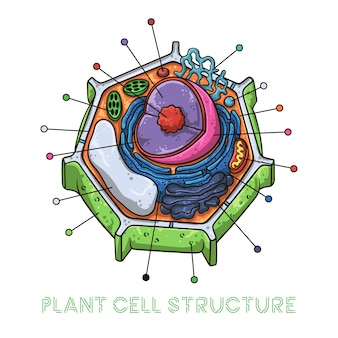 ベクトルスケッチイラスト。植物細胞の概略構造