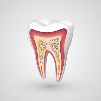 ベクトル歯断面。ベクトルイラストアート10eps