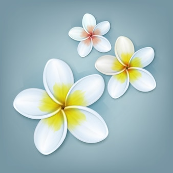 Vector tropical plant plumeria or frangipani flowers isolated on blue background