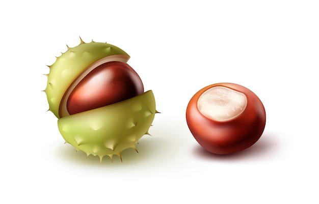 Vector two realistic horse chestnuts with green shell close up side view isolated on white background