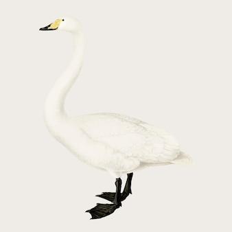 Вектор птица лебедь кликун рисованной