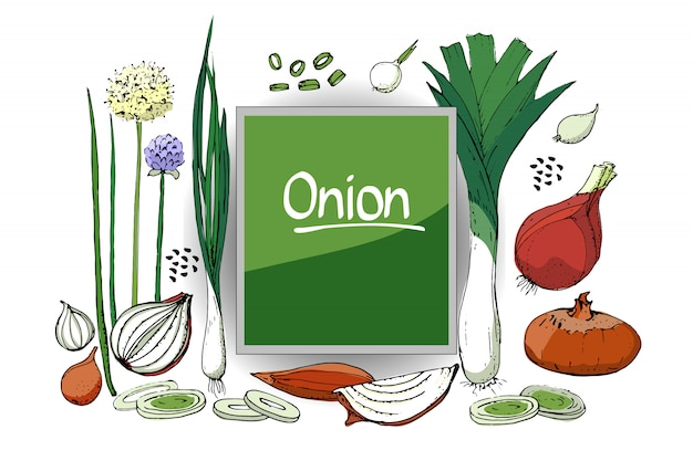 Vegetable sketch. set of onion of different types. isolated onions, chives, allium schoenoprasum and leeks.