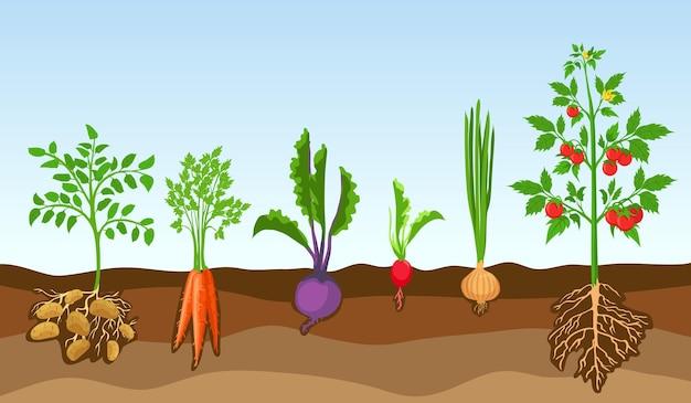 토양에 야채입니다. 농장 식물, 감자, 토마토, 양파, 무, 비트 뿌리 및 당근을 재배하십시오. 지상 벡터 세트에 뿌리를 가진 만화 야채입니다. 그림 수확 채소 원예, 감자 재배
