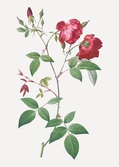 Velvet china rose in bloom