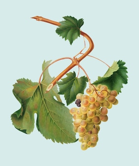 Vermentino grapes from pomona italiana illustration