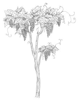 Лоза виноград с ягодами и листьями. винтаж штриховки черный монохромный