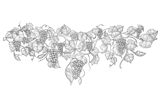 Эскиз виноградной лозы.