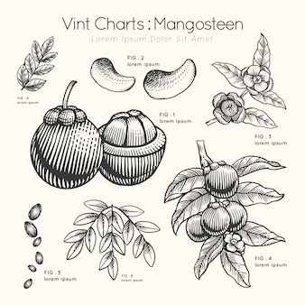 Vint charts mangosteen hand drawn
