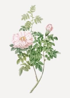 Vintage blooming ventenat's rose vector