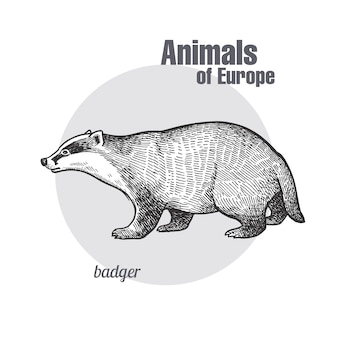 Vintage engraving of animal badger.