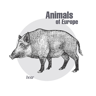 Vintage engraving of animal boar.
