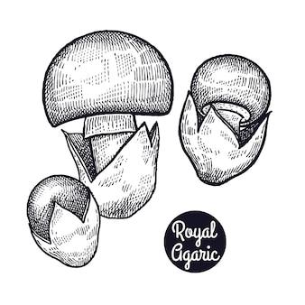 Старинные гравюры грибной royal agaric.