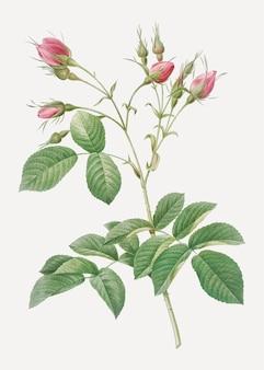 深紅色の芽のベクトルとビンテージevrat'sローズ