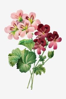 Vintage geranium vector