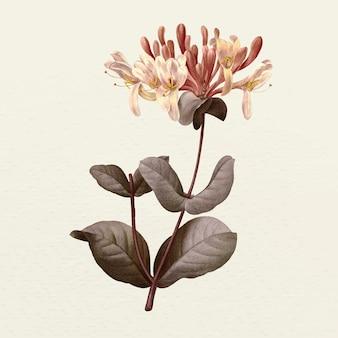 Винтажная иллюстрация цветка жимолости, переработанная из произведений искусства из общественного достояния