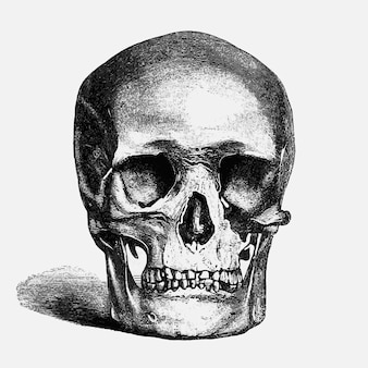 Vintage human skull illustration