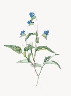 Illustrazione d'epoca di spiderwort blu