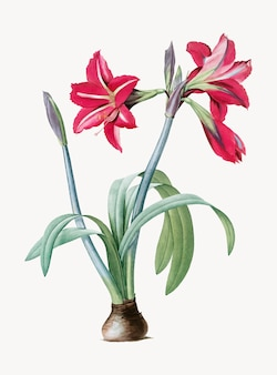 Vintage illustration of brazilian amaryllis