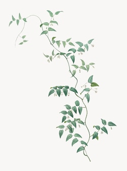 Vintage illustration of bridal creeper