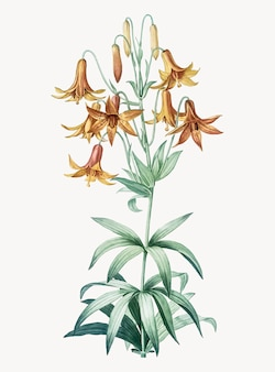 Vintage illustration of canada lily