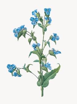Vintage illustration of commelina tuberosa