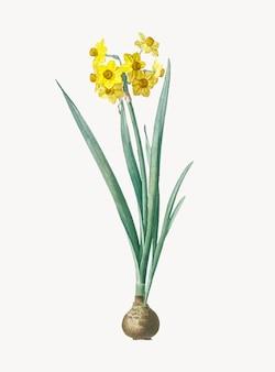 Vintage illustration of daffodil