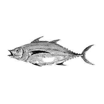 Illustrazione d'epoca di pesce