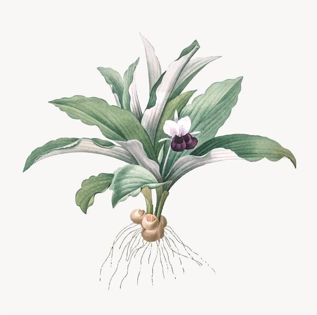 Vintage illustration of kaempferia angustifolia