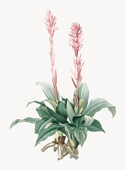 Vintage illustration of latin american lady orchid