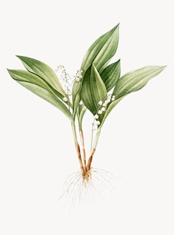 Vintage illustration of lily of the valley