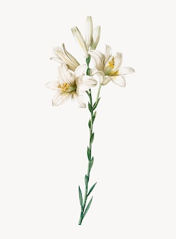 Vintage illustration of madonna lily