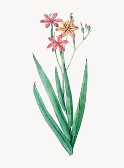 Vintage Illustration of Blackberry Lily
