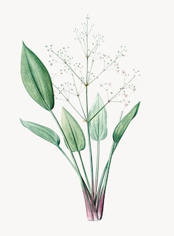 Vintage Illustration of European water-plantain