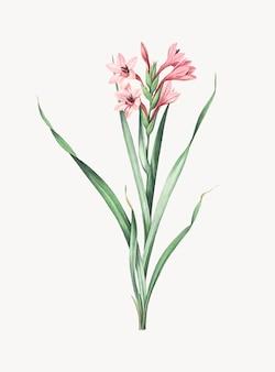 Vintage Illustration of Sword lily