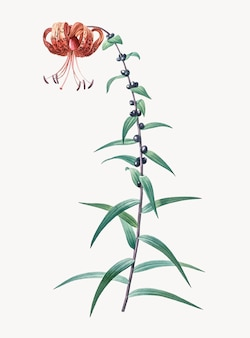 Винтажная иллюстрация тигровой лилии
