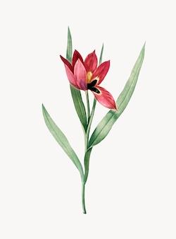 Винтажная иллюстрация tulipa oculus colis