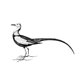 Vintage illustration of pheasant-tailed jacana