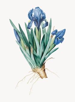 Vintage illustration of pygmy iris
