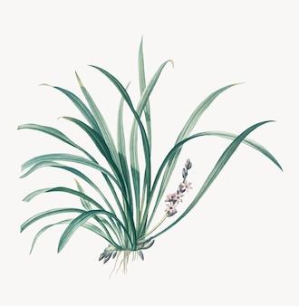Vintage illustration of sansevieria carnea