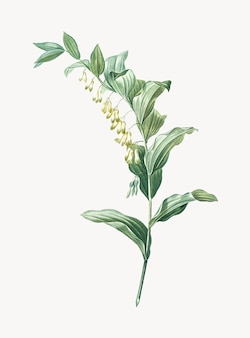 Vintage illustration of solomon's seal