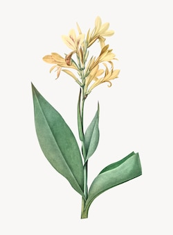 Vintage illustration of water canna
