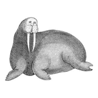 Vintage illustrations of arctic walrus