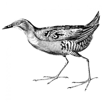 Vintage illustrations of baillon's crake